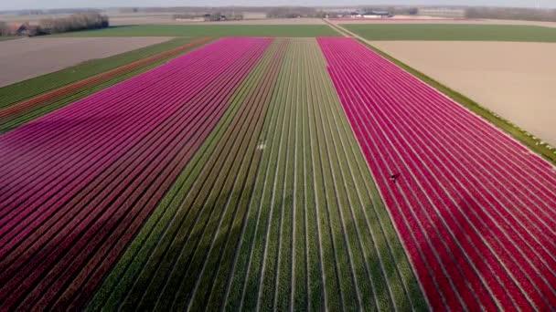 Tulipán mezők Hollandiában, Bulb régió Hollandia teljes virágzása tavasszal, színes tulipán mezők, színes tulipán mezők tavasszal forgatott drón