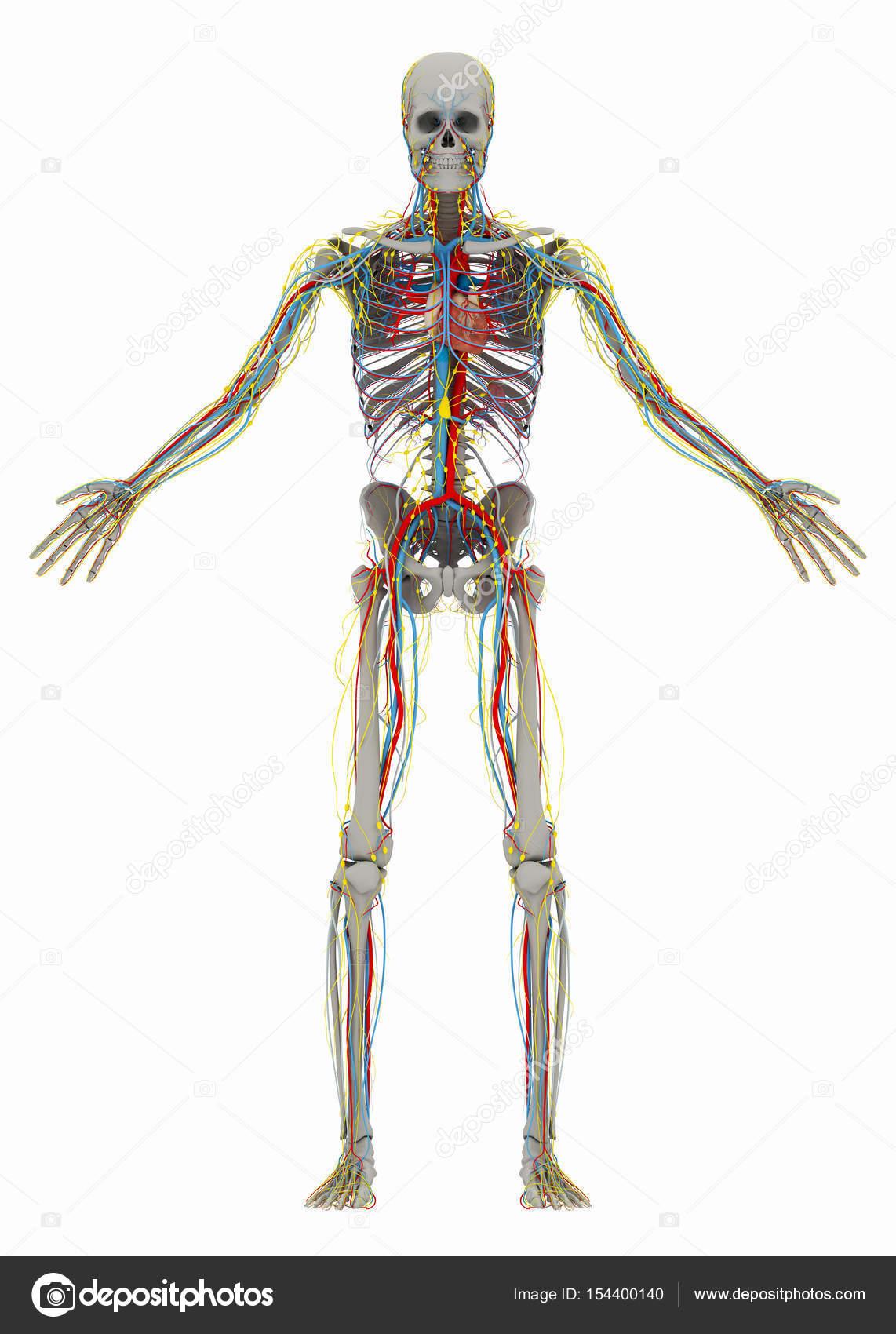 humano hombre esqueleto sin la parte delantera del trax y el