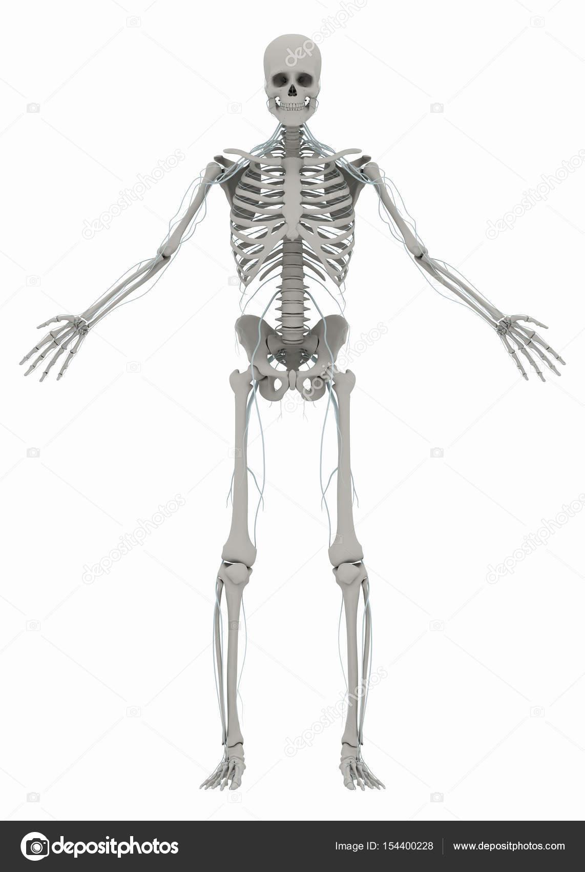 Humano hombre esqueleto y sistema nervioso Foto de stock