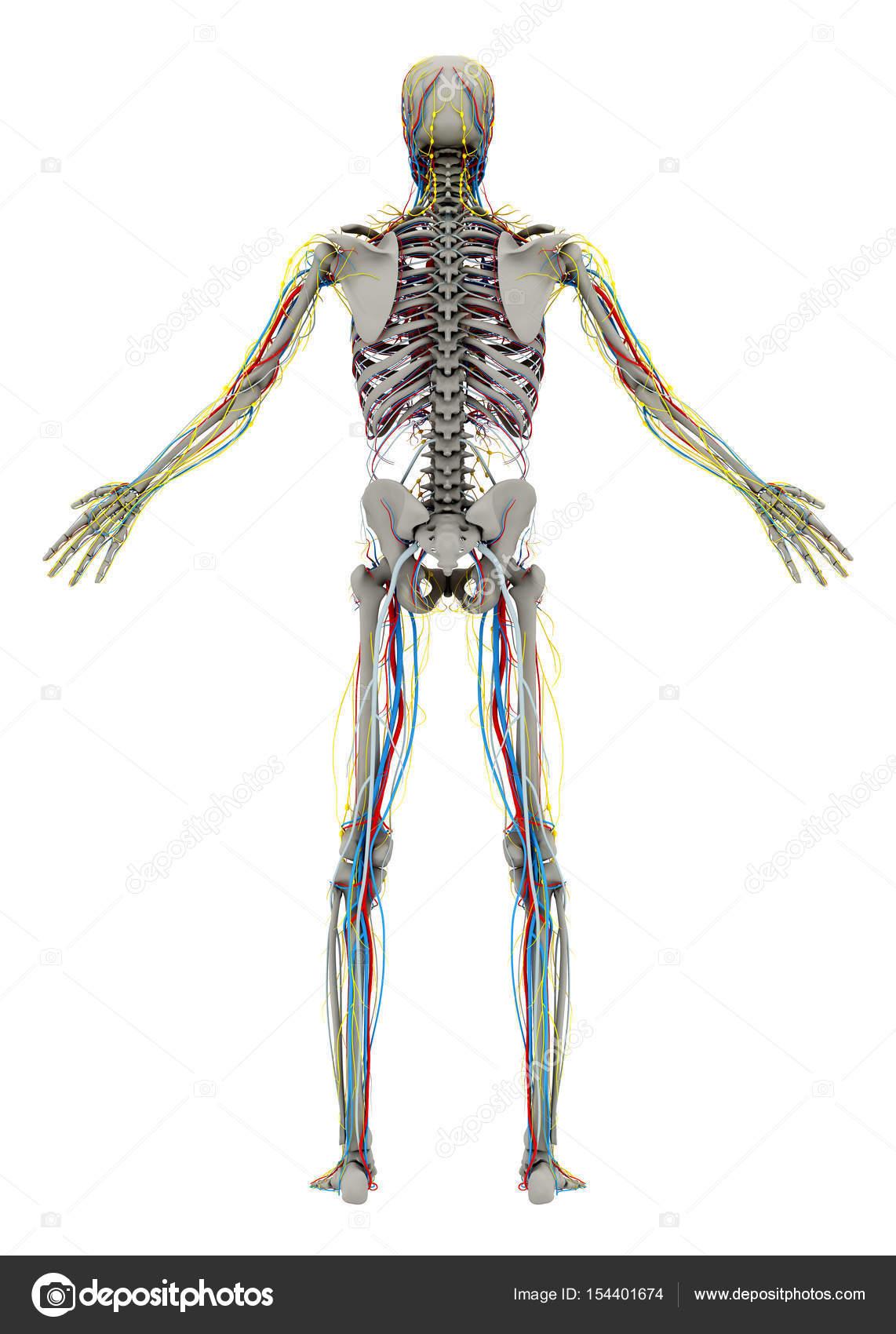 Menschliche (männliche) Skelett und Herz-Kreislauf, Lymphe ...