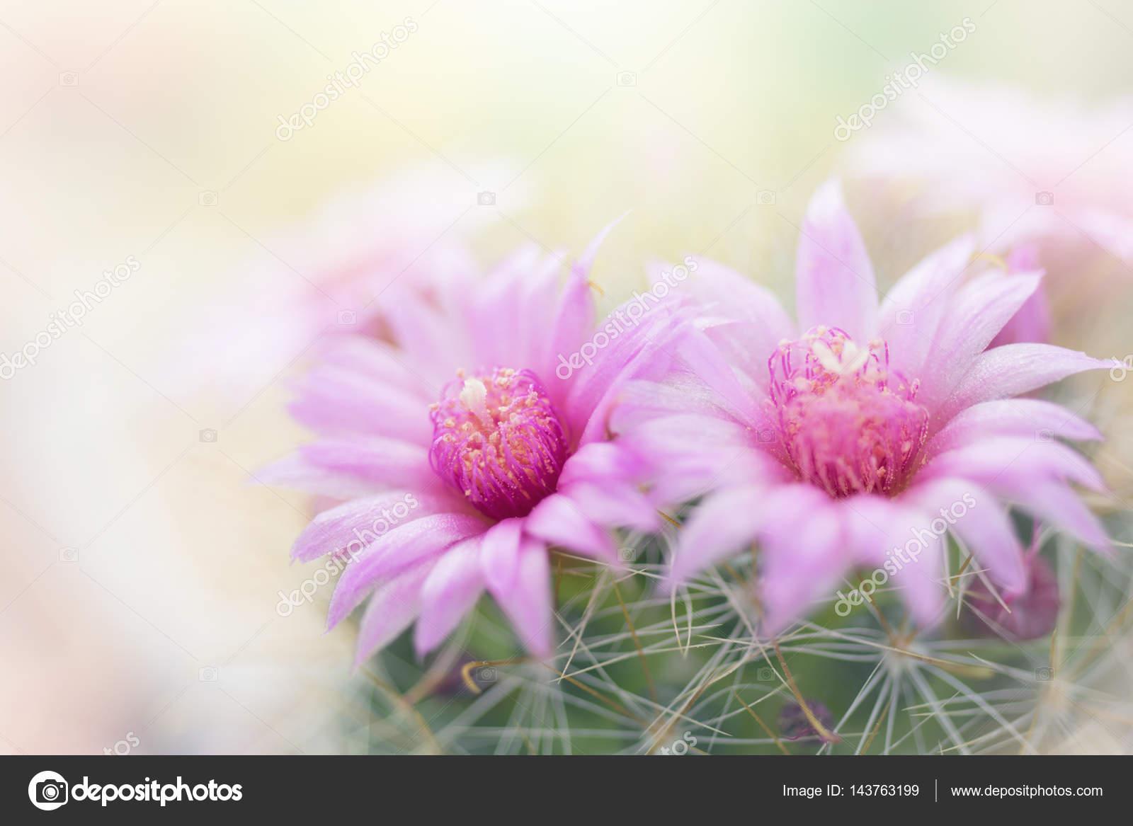 Beautiful Pink Cactus Flower Blooming In Garden Stock Photo