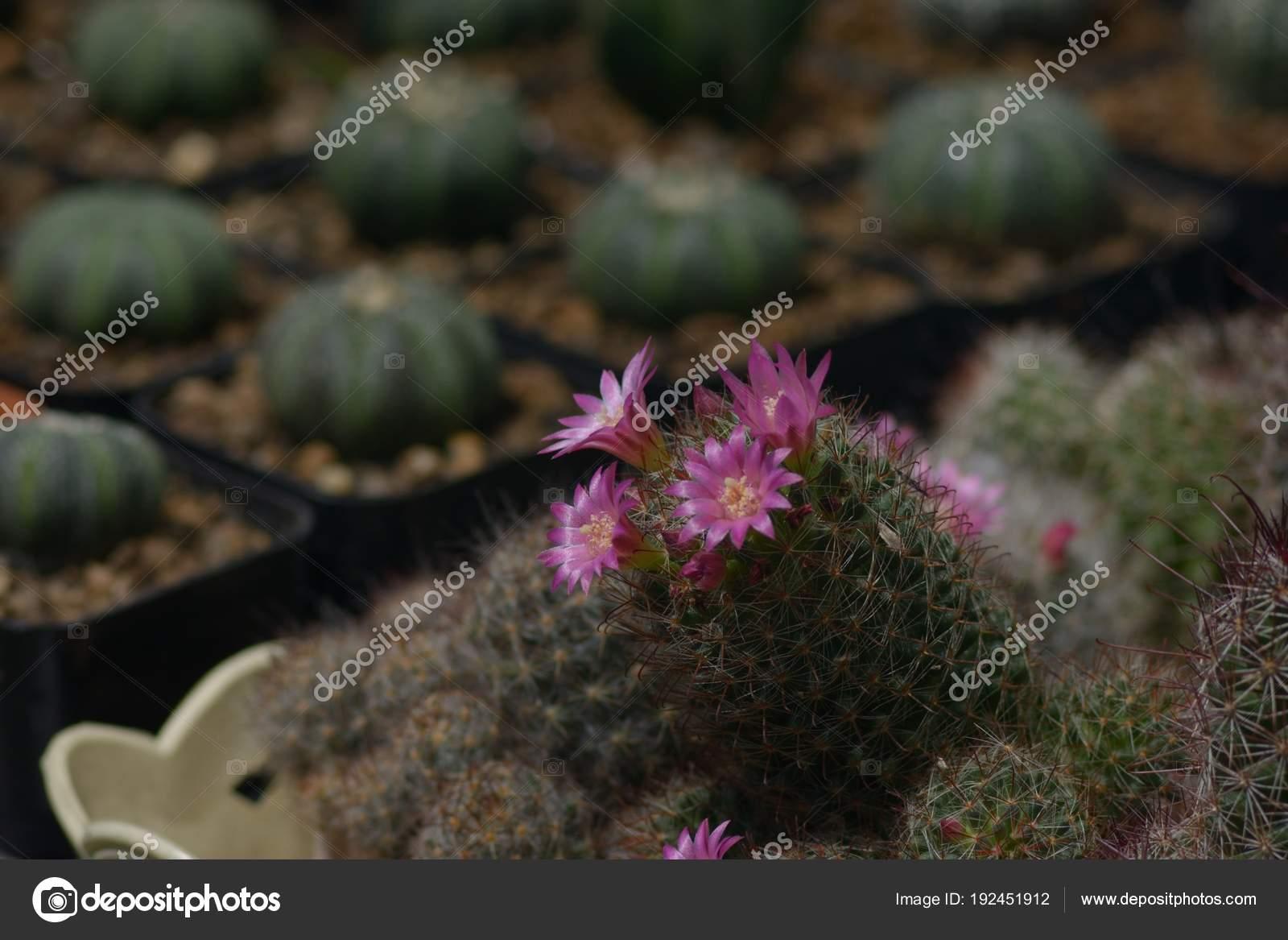 Beautiful Old Rose Cactus Flower As Background Stock Photo