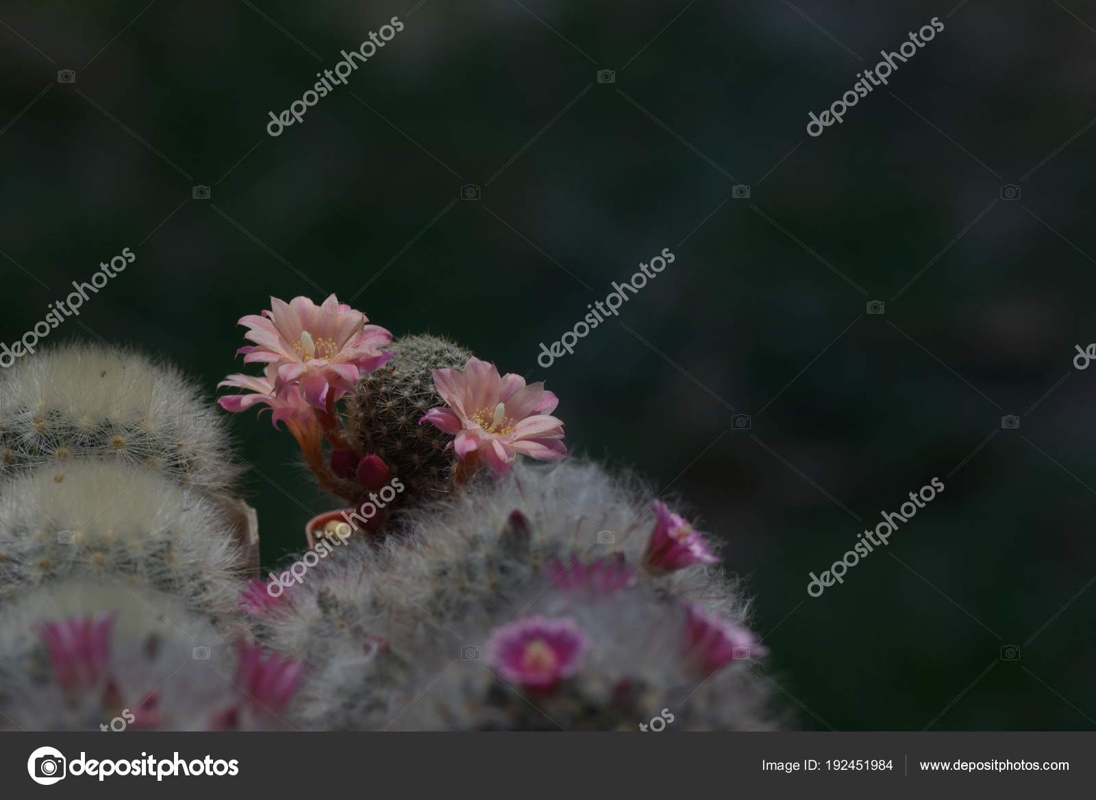 Fiore Di Cactus Rosa Antico Bella Come Sfondo Foto Stock Art8mb