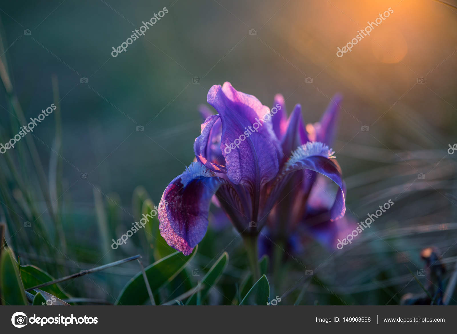 Wild purple iris flower stock photo mooseshop 149963698 wild purple iris flower stock photo izmirmasajfo