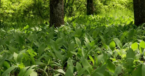 Glade in the forest with blooming lilies of the valley, lit by the sun
