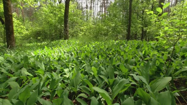 Glade in the forest with growing lilies of the valley