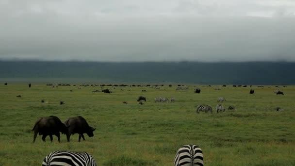 Zebry a mnoho dalších zvířat žije v národním parku Serengeti v Tanzanii.