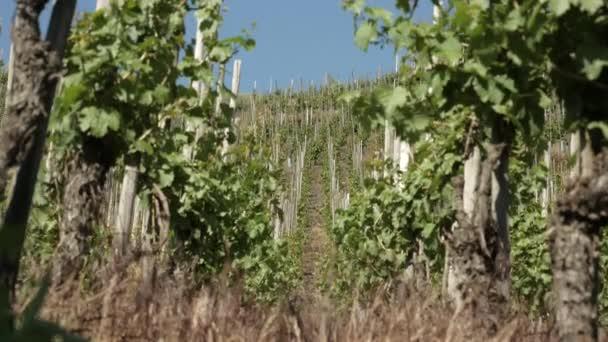 Nízký úhel široký záběr krásné řady na vinice pole během slunečného dne