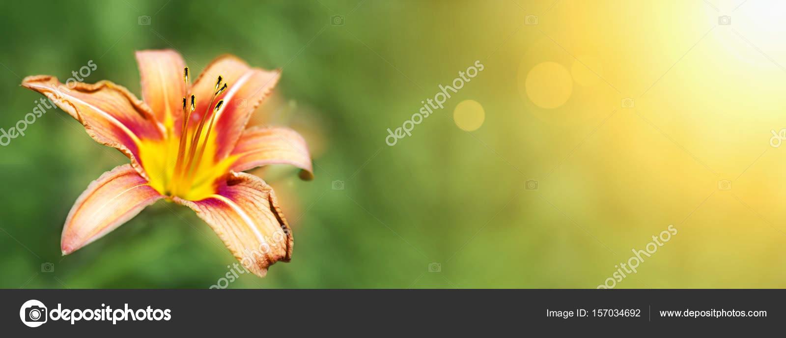 Lily Flower Banner Stock Photo Marenka1 157034692
