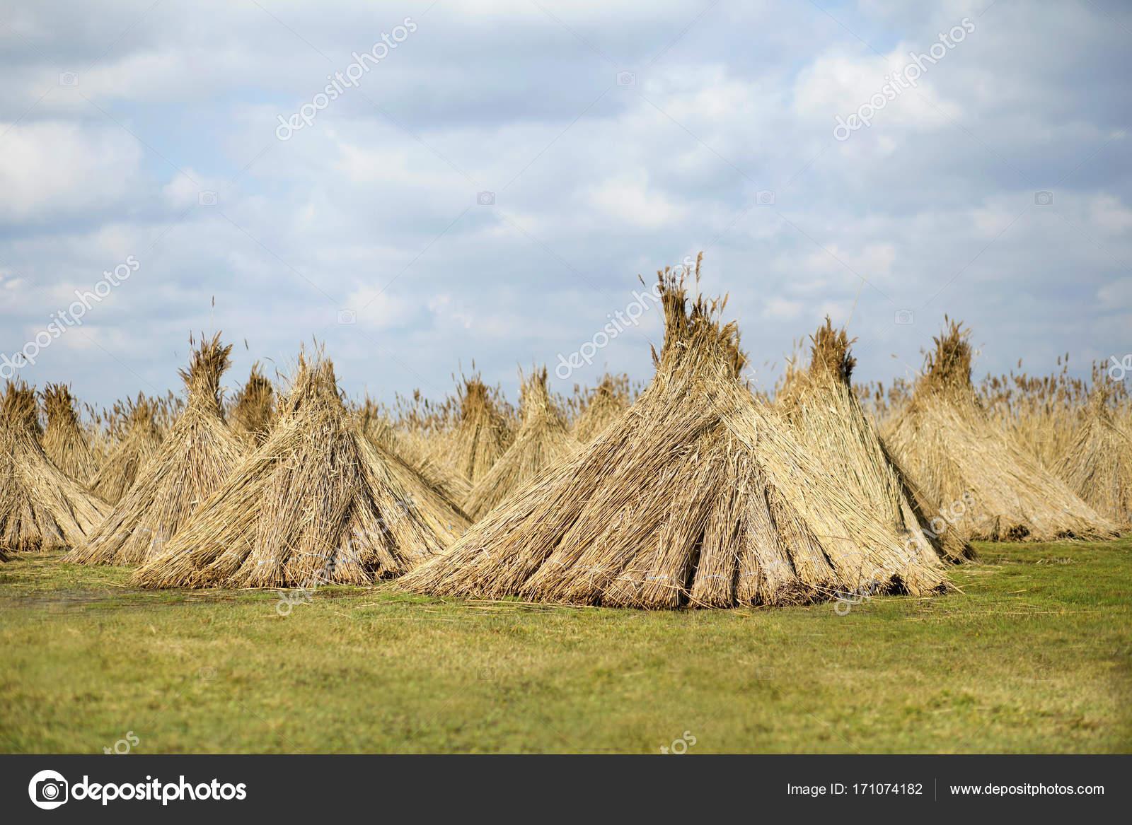 Reed Plant Gewas Stockfoto Marenka1 171074182