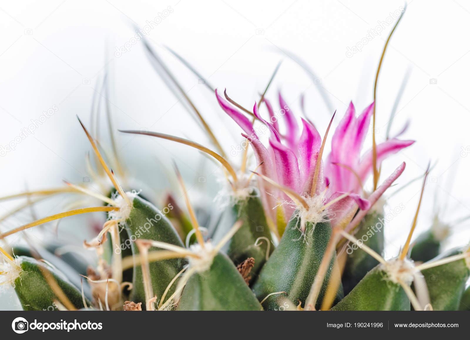 Vert Cactus Avec Une Belle Fleur Rose Avec Grosses Aiguilles