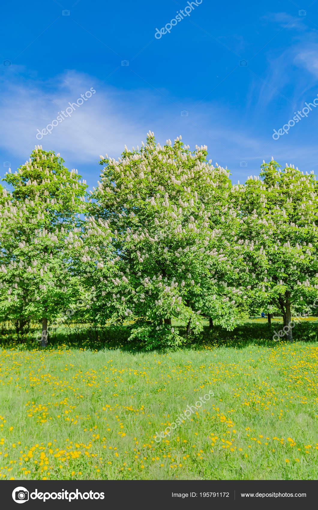 Chestnut Tree Blossoms Spring Beautiful White Pink Flowers Has Large