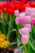 Színes tulipán és a hangulatos kertben virágzó virágok.