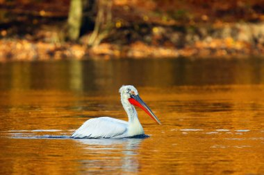 The Dalmatian pelican (Pelecanus crispus) on the gold-plated surface of the pond. Pelican in autumn colors.