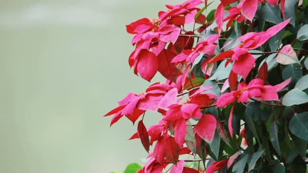 pozadí červené květy