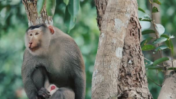 Régi sebesült majom vezetője