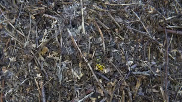 Mravenci pracují na povrchu ant-hill