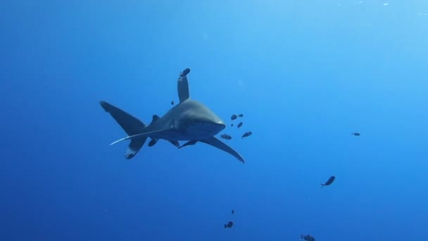 Egy óceáni fehér tipp cápa