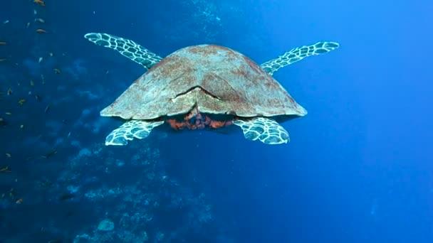 A nagy teknőc lassan