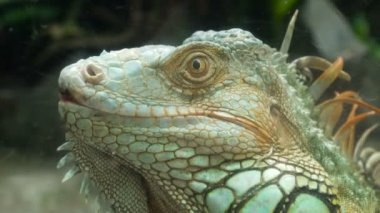 Iguana Lizard Close Up
