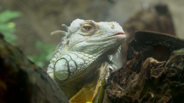 Lizard leguán Detailní záběr