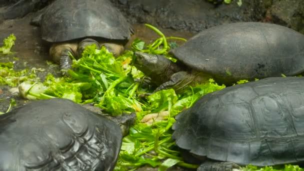 Teknősök eszik zöldséget