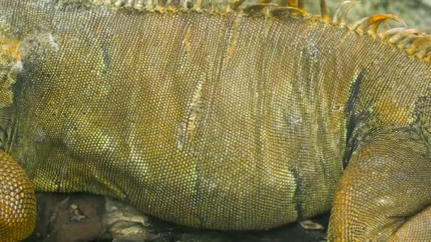 Close Up video - leguán ještěrka sedí na odvětví. Wildlife Shot, tropické barevné prostředí.