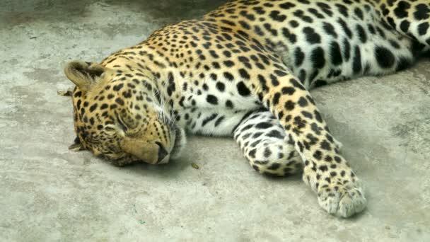 leopard sleeping close up