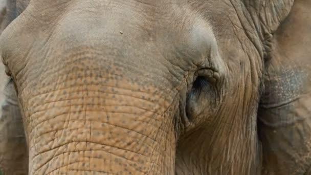 Nagy ázsiai elefánt.