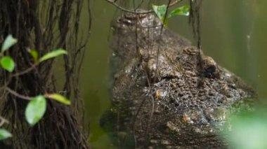 big crocodile in a jungle river