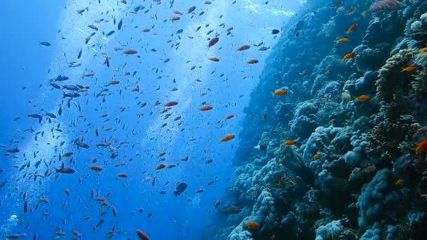 Škola tropických ryb v barevném korálovém útesu s vodní hladinou v pozadí, Rudé moře, Egypt. Krásné vodní podvodní záběry volně žijících živočichů.