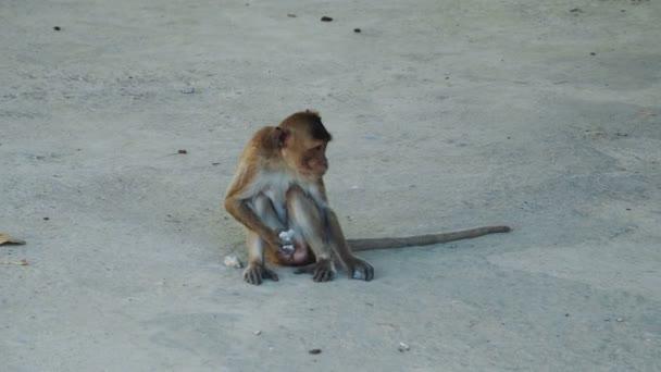 Hosszú farkú makákó majom játszik kövekkel Thaiföldön.