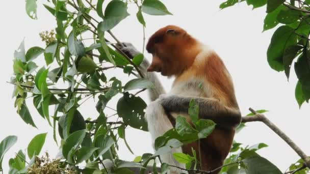 Female proboscis monkey in the wild, sitting on tree, eating leaves and looking around at Bako National Park, Borneo. Wild nature stock footage.
