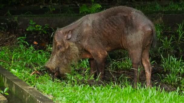 Egy öreg andt vékony borneai szakállas disznó, aki élelmet keres a Bako Nemzeti Park dzsungelében, Malajziában. Vadon élő természet állomány felvételek.