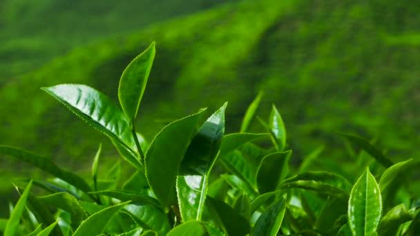 Green tea fresh leaves. Tea plantations