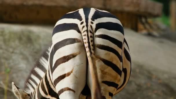 Közelkép a zebráról (Equus quagga), csóválja a farkát. Vadon élő állatok és természet állomány felvételek.