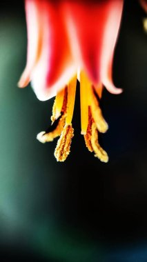 Macro Shot  Of An Aloe Vera Flower with black background.