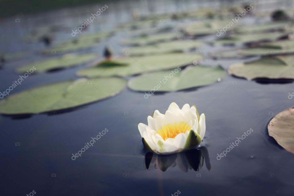 Nympaea Tetragona Georgi Water lily. Kenozero lake