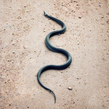 Grass snake crawling on the ground. Karelia Russia
