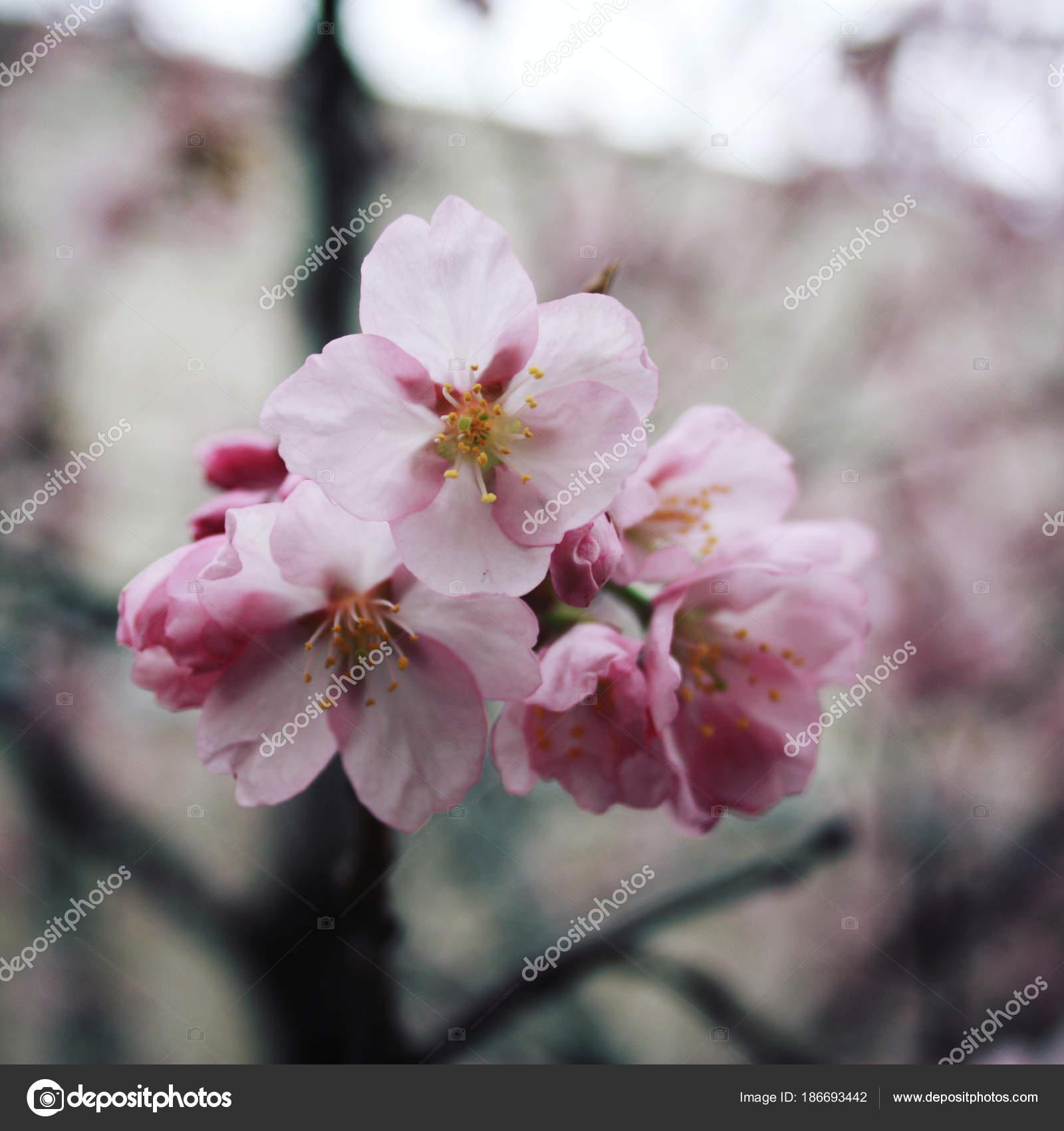 Pink sakura bloom spring season toned photo stock photo lora pink sakura bloom spring season toned photo flowers bloom in spring season sakura blossom time blossoming cherry flowers in spring retro filter photo mightylinksfo