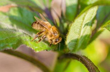 """Картина, постер, плакат, фотообои """"Дикая пчела в вечернем солнечном свете в зеленых листьях. Закрыться низкой глубиной поля"""", артикул 328391472"""