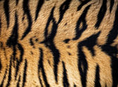 Fotografie texture of real tiger skin ( fur )