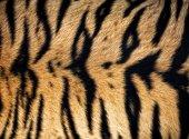 Fotografia texture of real tiger skin ( fur )