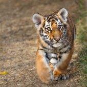 Fotografie Tiger cub portrait. Tiger playing around (Panthera tigris)