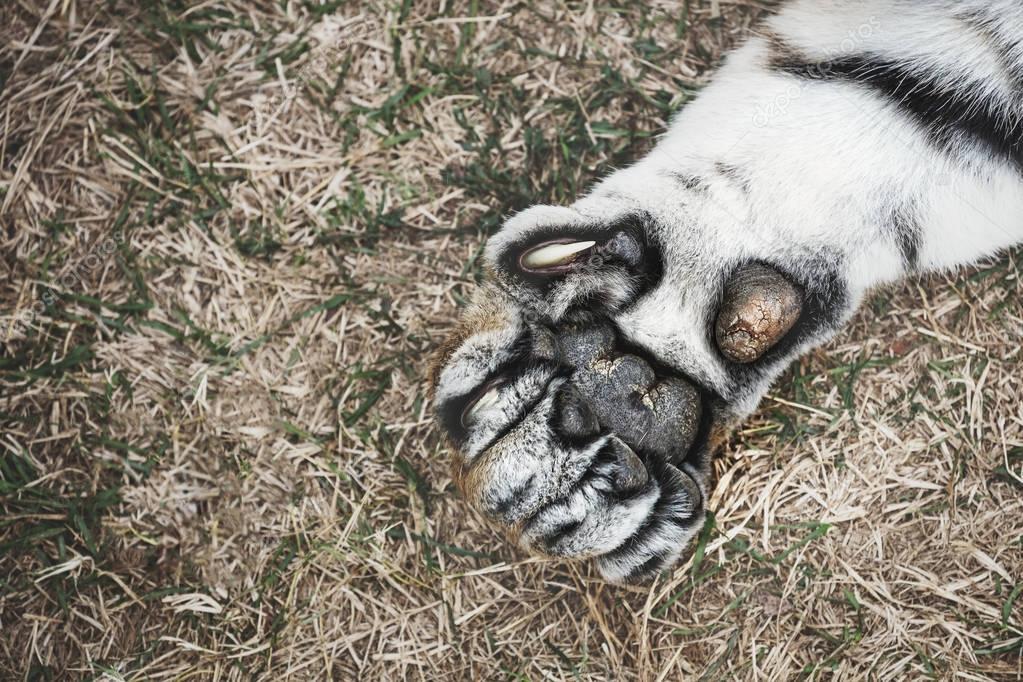 Tiger paw on grass