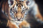 Fotografie Portrait of Tiger cu