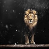 Fotografie Portrait of a Beautiful lion, lion in the dark and snow