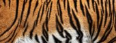 Fotografie texture of real tiger skin, fur