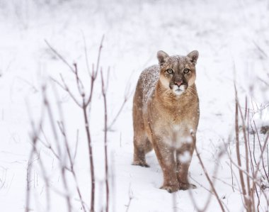 Puma in the woods, Mountain Lion look, single cat on snow. eyes