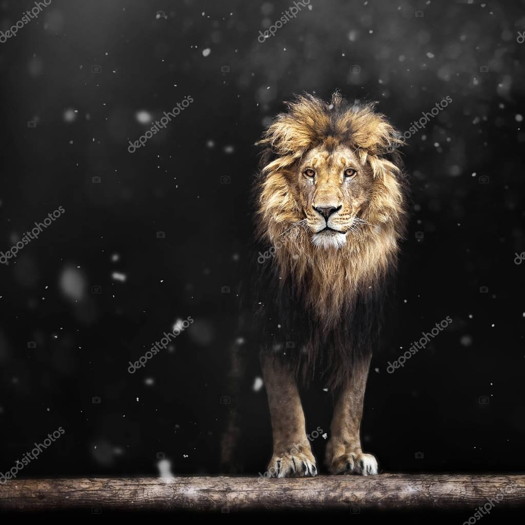 Portrait of a Beautiful lion, lion in the dark and snow